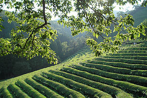 500 year old green tea fields, Boseong, Jeolla...